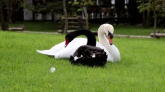Mute Swan (White) and Black Swan - stock footage