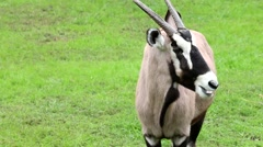 Oryx antelope on green meadow. Stock Footage