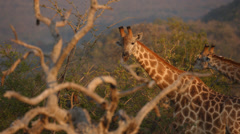 Stock Video Footage of Two Giraffe standing and eating from a tree