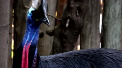 Cassowary, the largest bird of New Guinea, Australia Stock Footage
