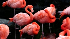 Stock Video Footage of Flamingos, rest and feed on small lake at the zoo