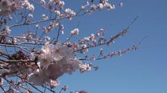 Blooming Sakura Stock Footage