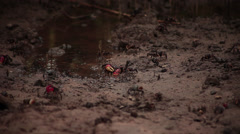 Multiple Fiddler Crabs walking across the sand - stock footage