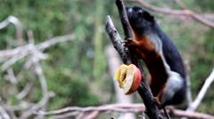 Prevost squirrel eating an apple Stock Footage