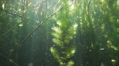 Stock Video Footage of Algae spectacular beautifully lit by sunlight surrounded by reed in lake