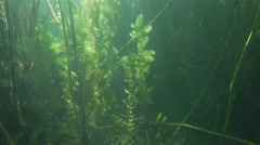 Algae spectacular beautifully lit by sunlight surrounded by reeds in lake Stock Footage