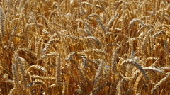 Tracking over ripe wheat in field Stock Footage