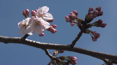 Close up of blooming Sakura Stock Footage