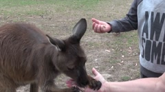 Close up Kangaroo eating out of my hand Stock Footage