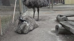 Emu (Dromaius novaehollandiae) grooming itself Stock Footage