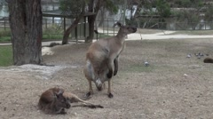 Kangaroo walking toward camera for food. Stock Footage