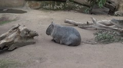 Wombat scratching itself Stock Footage