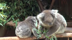 Stock Video Footage of Close up baby joey (Phascolarctos cinereus) climbs on mums back