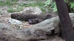 Tasmanian Devils (Sarcophilus harrisii) taking life easy Stock Footage