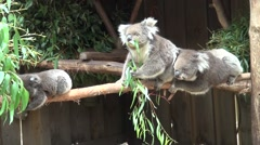 Koalas (Phascolarctos cinereus,) up close Stock Footage