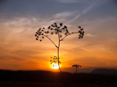 Sunset with solhouette of hogweed - stock photo