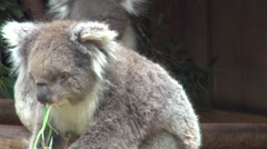 Closeup Koala (Phascolarctos cinereus) eating eucalyptus leaves. Stock Footage