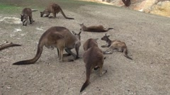 00122 Kangaroos hanging out in a wildlife park Stock Footage