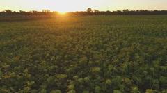 Aero Flight over the sunflower field in sunset - stock footage