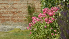 Pink phlox at an old walled botanical garden Stock Footage