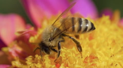 Bee pollinating dahlia macro 01 Stock Footage