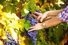 Winemaker woman picking grapes at harvest time Stock Photos