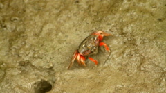 Fiddler crab feeding on the beach Stock Footage