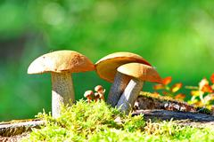 Orange Cap Boletus mushrooms (Leccinum aurantiacum) Stock Photos