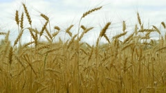 Woman's hand touch wheat ears Stock Footage
