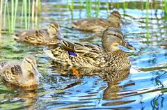 Forest pond and wild ducks - stock photo