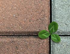 Stock Photo of clover on the stone pavement