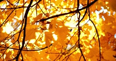 Sun shining through fall leaves blowing in breeze. Slow motion. Stock Footage
