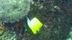 Long-nose butterflyfish (Forcipiger flavissimus) Stock Footage