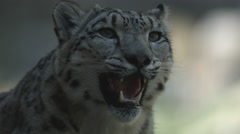 Snow Leopard panting Stock Footage