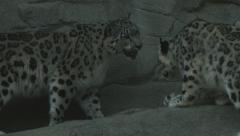 Snow Leopards climbing Stock Footage