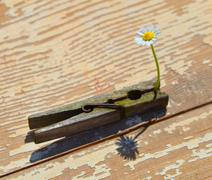 White daisy gripped in the clothes pin Stock Photos