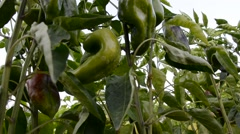 Stock Video Footage of Paprika vegetable in the garden
