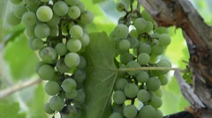 Vineyard shot during the summer day Stock Footage