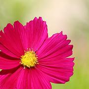 Cosmos flower on a green background - stock photo