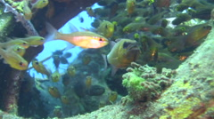 Ringtail cardinalfish (Apogon aureus) with eggs in its mouth Stock Footage