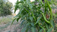 Hot chilly pepper vegetable in the garden - stock footage