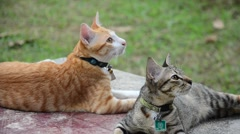 Thai domestic cats playing on table in garden - stock footage