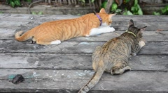 Thai domestic cats playing on table in garden Stock Footage