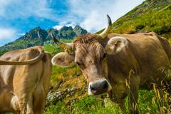 Swiss Alpine Cows on the Mountain Meadow. Stock Photos