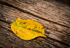 Stock Photo of One autumn yellow leaves