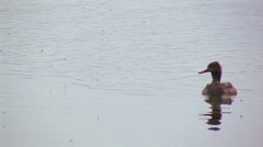 MERGANSER SWIMS ON CALM LAKE Stock Footage