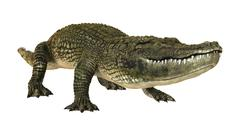 American Alligator Stock Illustration