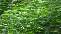 Reed on a windy day. Background Stock Footage