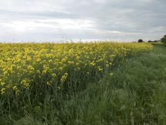 the beginning of a huge yellow fields of blooming - stock photo