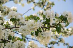 The blossoming apple-tree Stock Photos